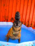 Hatos balancing a KONG on his head