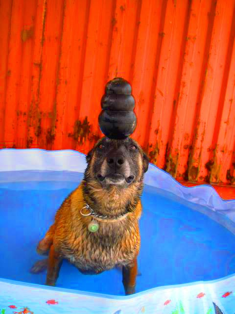 Hatos balancing a KONG on his head