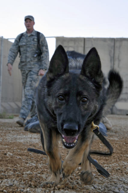 Ali, a U.S. Air Force military working dog, runs to the next obstacle on a training course at Asad Air Base, Iraq, on July 25, 2010. The obstacle course provides exercise and obedience training for military dogs. DoD photo by Perry Aston, U.S. Air Force. (Released)