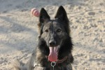 Military working dog Enyzi of the 101st Airborne Division, in Afghanistan