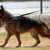 German Shepherd Dogs in the Military —  A Brief Historical Overview