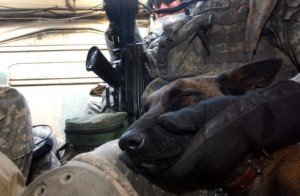 Olivia, a military working dog, sleeps next to her trainer inside a U.S. Army Stryker after a morning of conducting vehicle searches in Mosul, Iraq, Oct. 19, 2006, in support of a joint U.S.- Iraqi army mission. (U.S. Air Force photo by Tech. Sgt. Michele A. Desrochers) (Released)