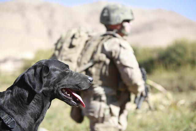 U.S. Marine Corps improvised explosive device (IED) detection dog Rocky, attached to India Battery, 3rd Battalion, 12th Marine Regiment, Regimental Combat Team 2, rests during a patrol in Kajaki, Helmand province, Afghanistan, Oct. 22, 2010. The unit patrolled the area to deter insurgent emplacement of improvised explosive devices. (U.S. Marine Corps photo by Cpl. Matthew P. Troyer/Released)
