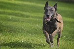 Malinois: Max and More