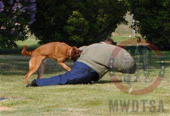 Malinois training with handler