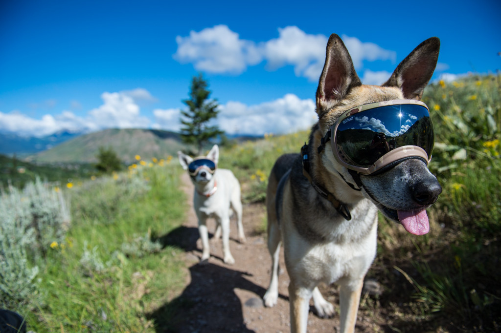 This photo shows two dogs on a hiking trail, wearing Rex Specs dog eye care goggles. The tinted lenses shield their eyes from the intense sun.