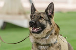 German Shepherd Dogs in the Military: A Brief Historical Overview