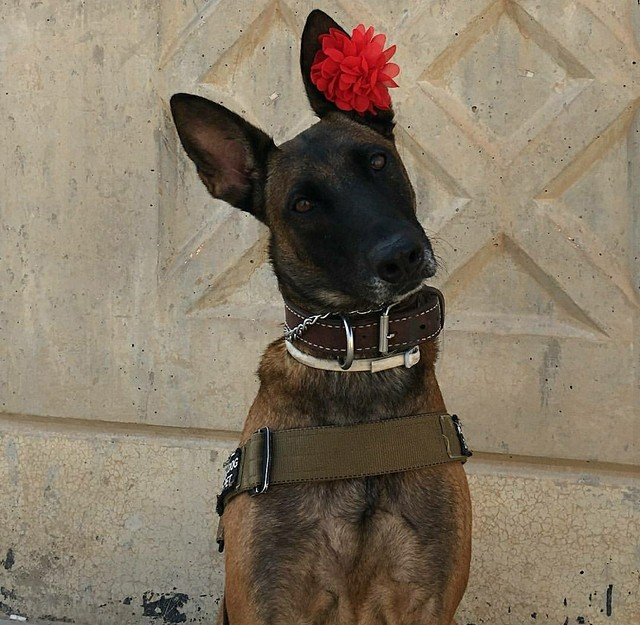 Photo of military working dog with flower