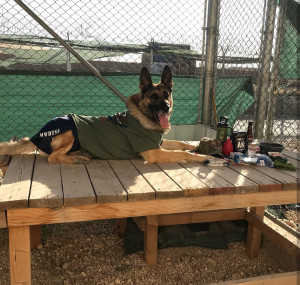 Each care package contained a t-shirt and athletic shorts for the handler, but in this photo, a military working dog is modeling the t-shirt and shorts. Hilarious!
