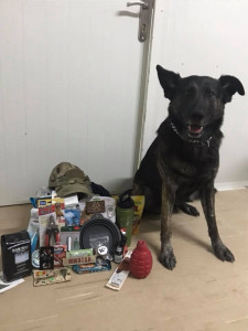 MWD with expressive eyes and one ear flopped forward sits on the floor next to care package contents.