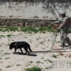 49th Mine Dog Detection Detachment in Afghanistan