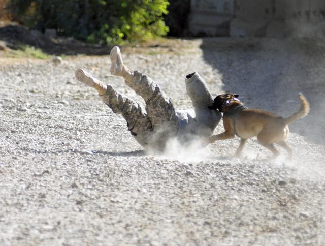 Staff Sgt. Titan, a military police dog takes down a demonstrator in a training exercise.
